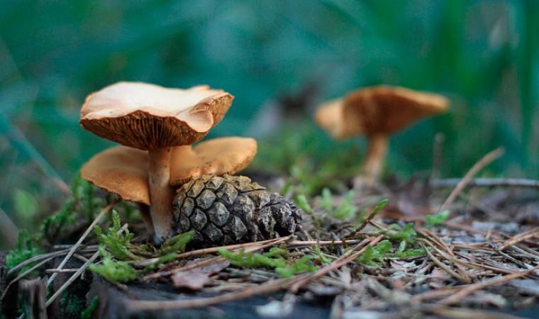 Что за гриб? Все о груздях